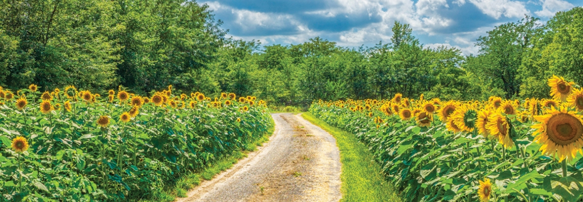 Dirt road through a field of Sunflowers